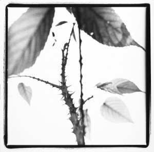 ©Michel Delsol - Une Mendiante Rousse. Nature Series. Black/white close up of rose stems and thorns