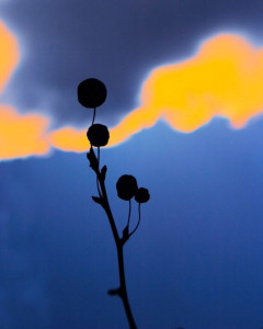 FLORA SERIES #8KEN SHUNG photography - image from the flora series. Close up of bud and stem, silhouetted against a vivid blue and orange background