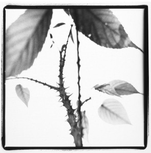 Michel Delsol photography - black and white image of a close up of leaves on a thorny stem, from the Nature Series