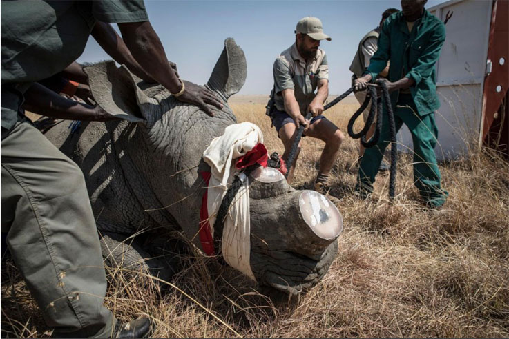 Rhinos are dehorned before transporting, Rhino relocation, South Africa ©Jason Florio/Smithsonian Magazine