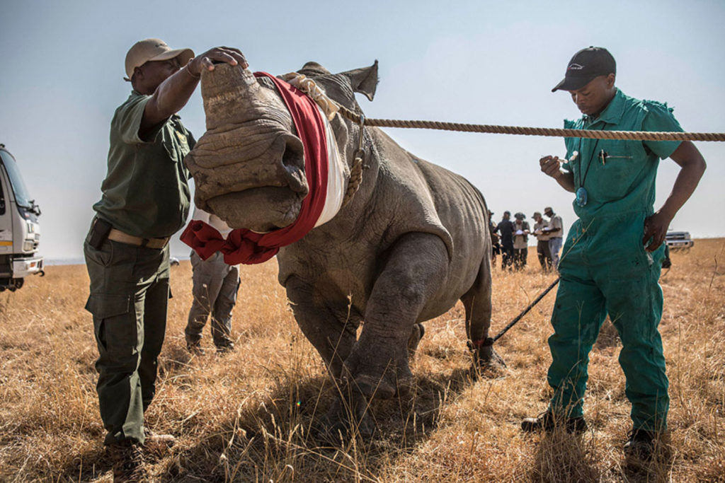 Rhino Relocation by Jason Florio - Dodho Magazine - photos of the mass relocation of rhino's, South Africa