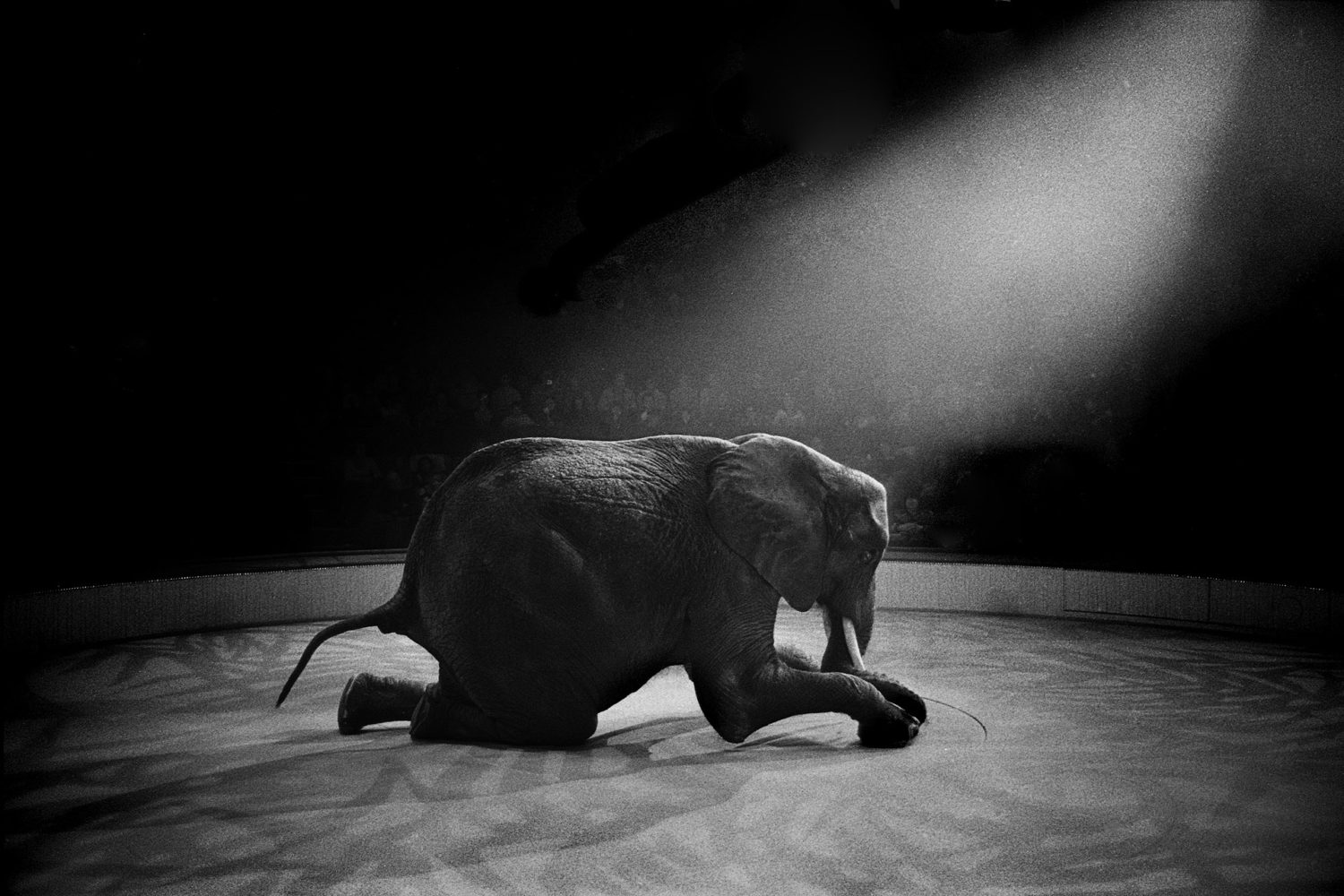 Robert Goldstein - 'Paris Circus'. Black and white - elephant kneeling down in a circus ring